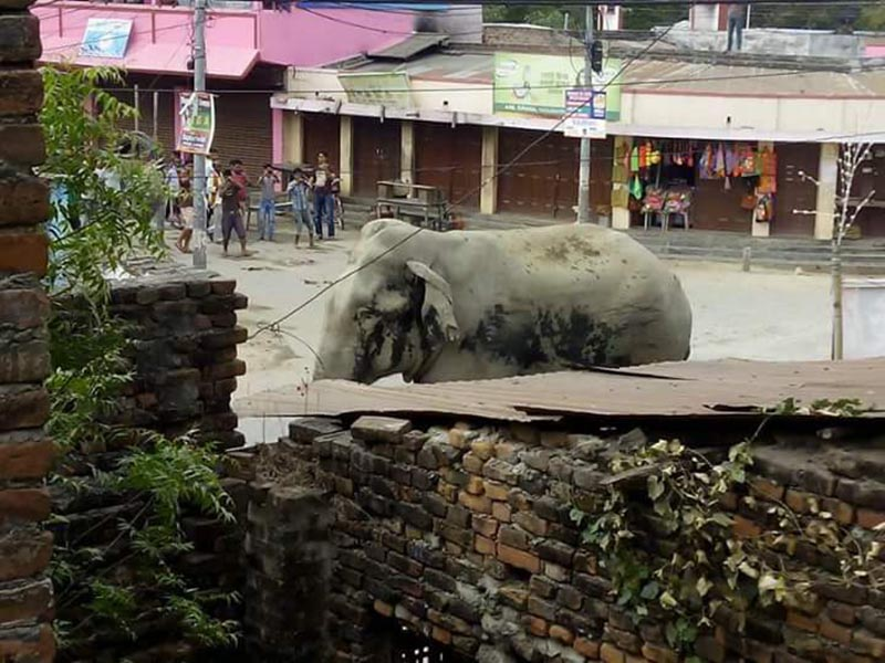 A wild elephant that strayed into human settlement galumphs on the street of Hanumannagar of Saptari district on Tuesday, April 4, 2017. Photo: Byas Shankar Upadhyaya
