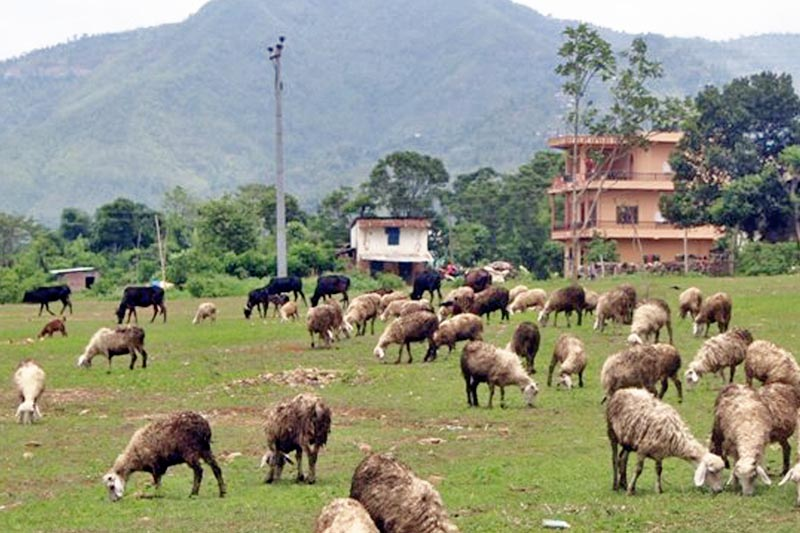 A herd of sheep grazes in Rampur of Palpa district, on Sunday, April 9, 2017. Photo: RSS