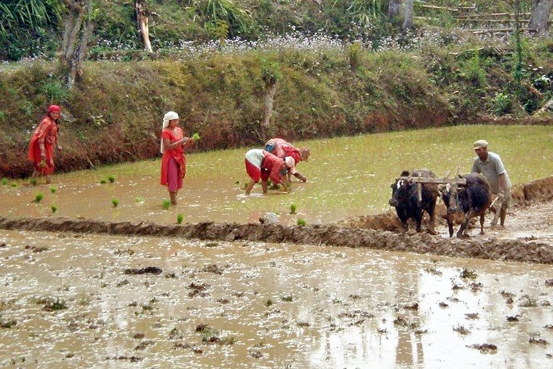 A farmer is seen ploughing a field as women are planting rice saplings in Lamjung district, on Sunday, April 2, 2017. Photo: RSS