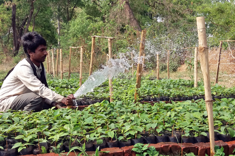 A farmer sprinkles water onto saplings in a nursery at Chandrauta Sector Forest Office, Kapilvastu, on Monday, May 01, 2017. Photo: RSS