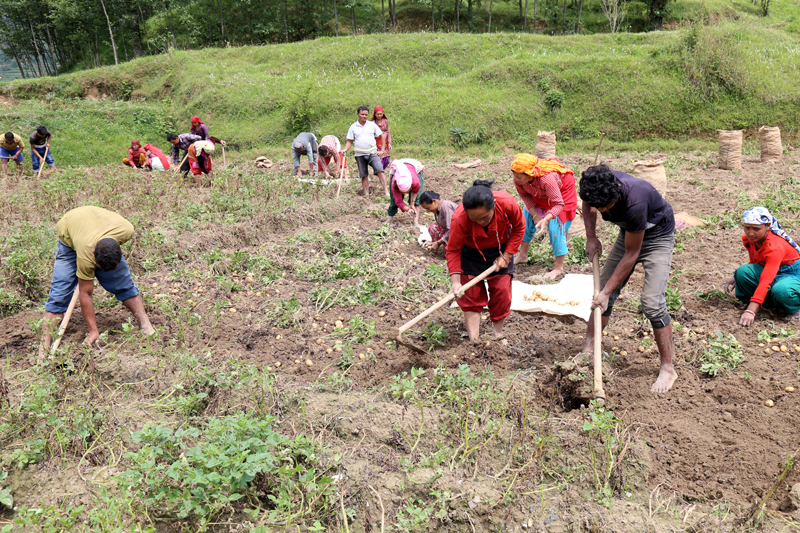 Local farmers hoeing a field at Palung of Makawanpur district, on Wednesday, May 31, 2017. Photo: RSS