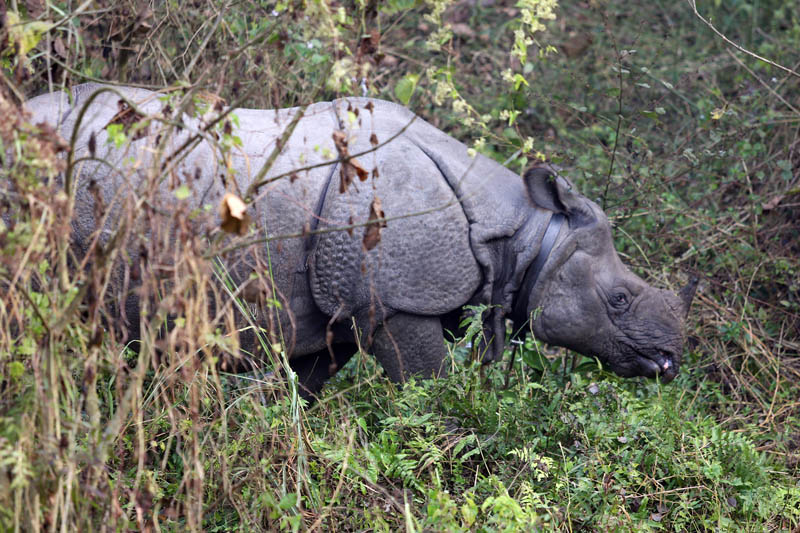 A one-horned rhino as seen in Chitwan National Park on Friday, May 19, 2017. Photo: RSS
