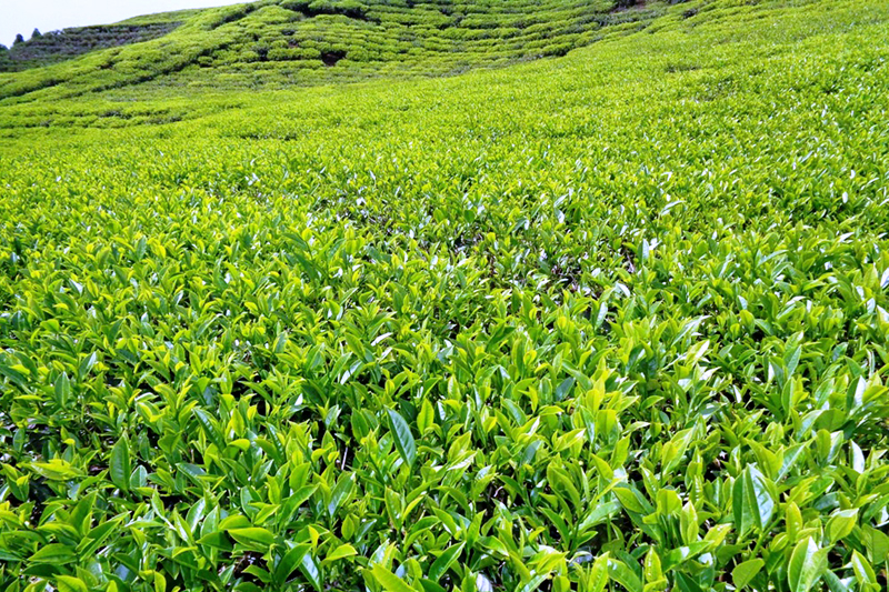 A mesmerising view of tea garden in Ilam, as captured on Tuesday, May 16, 2017. Photo: RSS