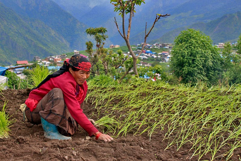 A elderly woman is seen planting millet in Barpak of Gorkha district, on Saturday, June 24, 2017. Photo: RSS