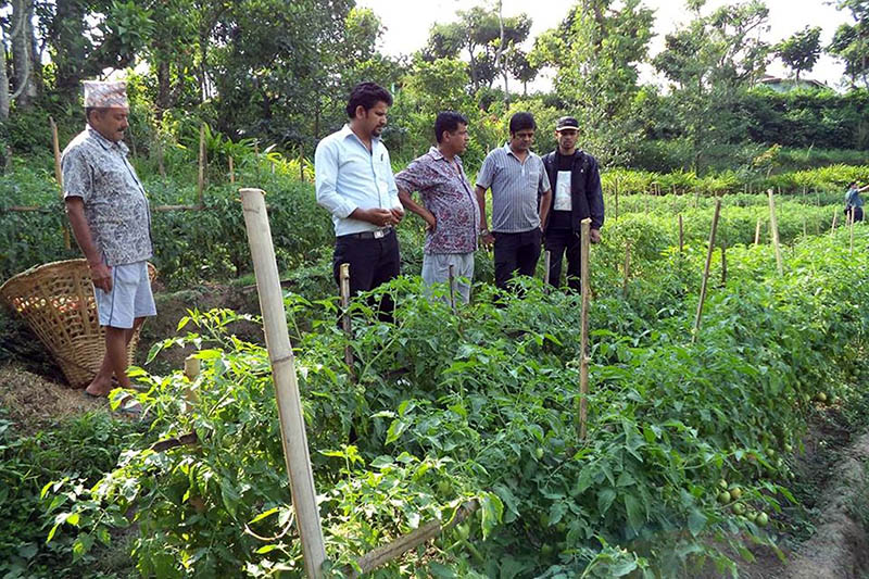 A team from the Ministry of Agriculture visits a commercial tomato farm in Ilam district, on Monday, June 12, 2017. Photo: RSS