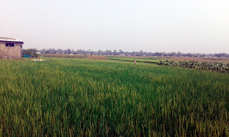A view of the encroached forest area that has now turned into a cultivable land in Parsa, as captured on Saturday, June 10, 2017. Photo: Kanhaiya Gupta