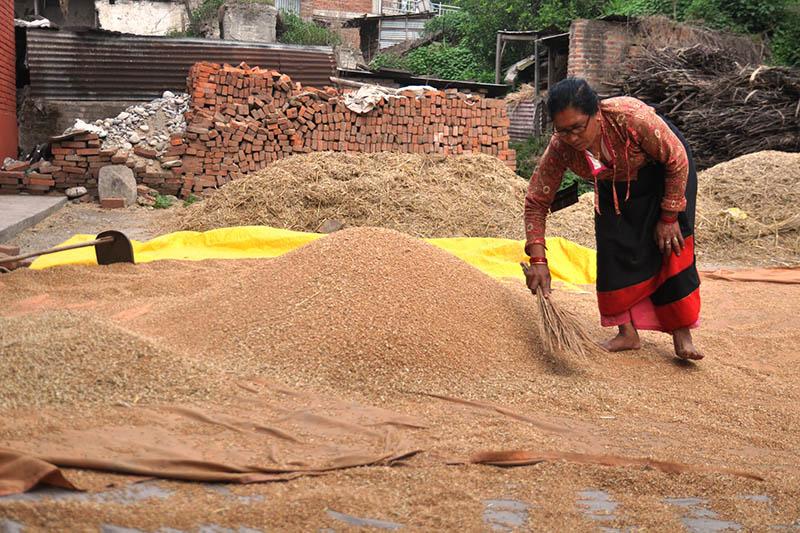 A farmer basks wheat on sun in Bhaktapur, on Friday, June 2, 2017. Photo: RSS
