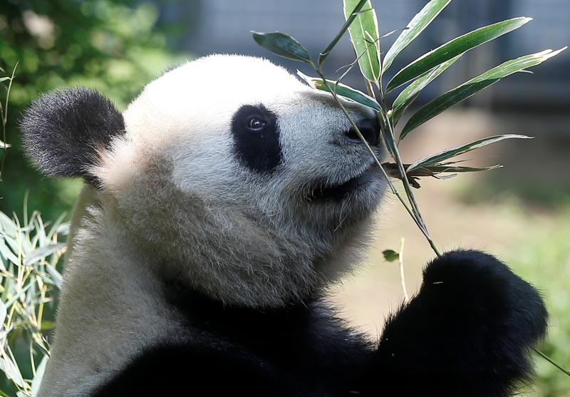 A female giant panda named Shin Shin which zoo officials say may be pregnant is seen through a window glass at Ueno Zoological Park in Tokyo, Japan, May 19, 2017. Photo: Reuters