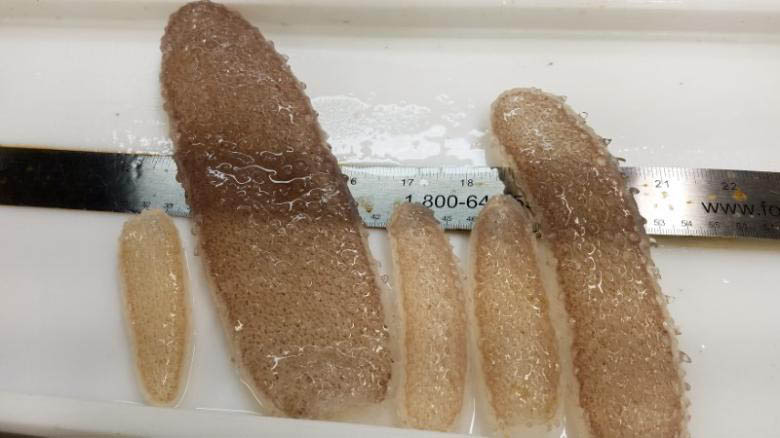 Pyrosomes u2013 colonies of thousands of individual organisms called zooids u2013 are pictured aboard a National Oceanic and Atmospheric Administration research vessel in the Pacific Ocean off the coast of Oregon in this May 2017 handout photo obtained by Reuters June 26, 2017. Photo: Reuters