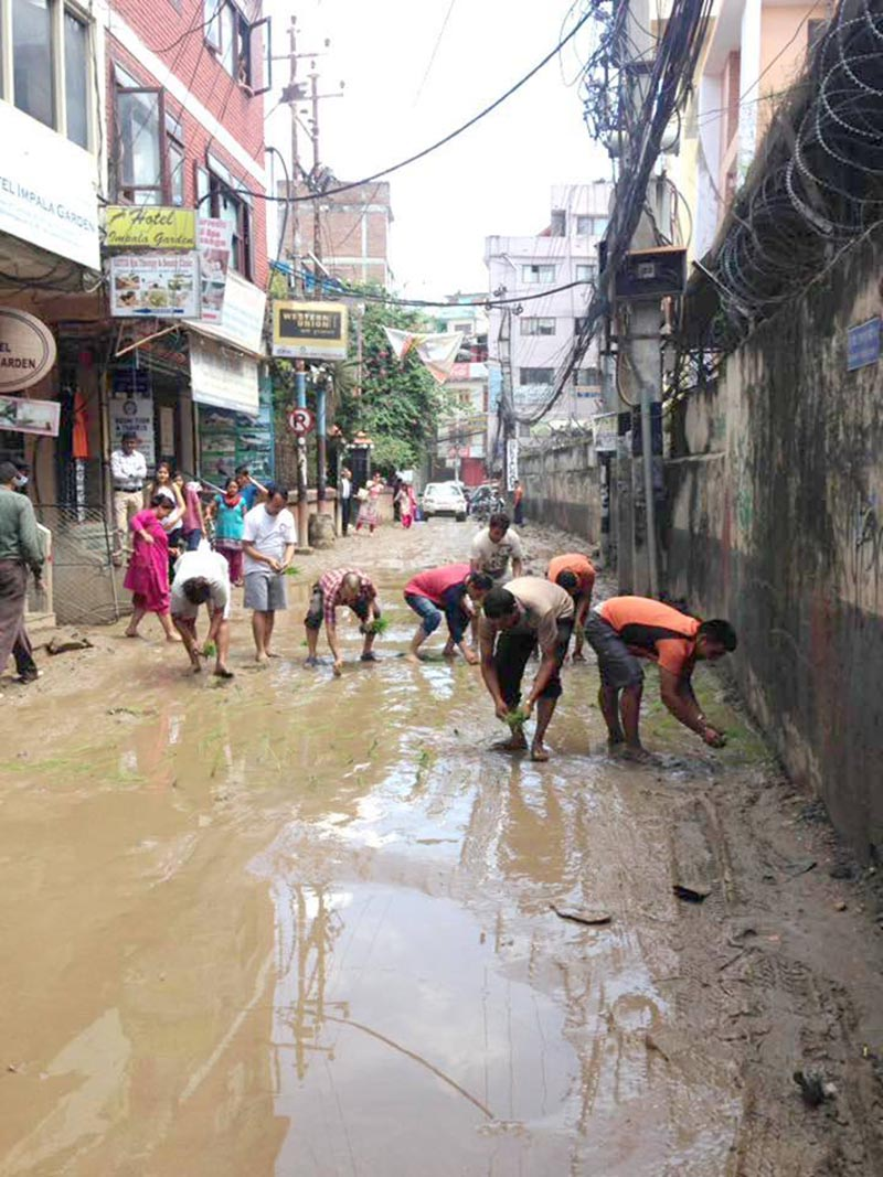 Locals planting rice saplings on a muddy road on the occasion of National Rice Day to protest against the sorry condition of the road, in Thamel, Kathmandu, on Thursday, June 29, 2017. Photo: THT