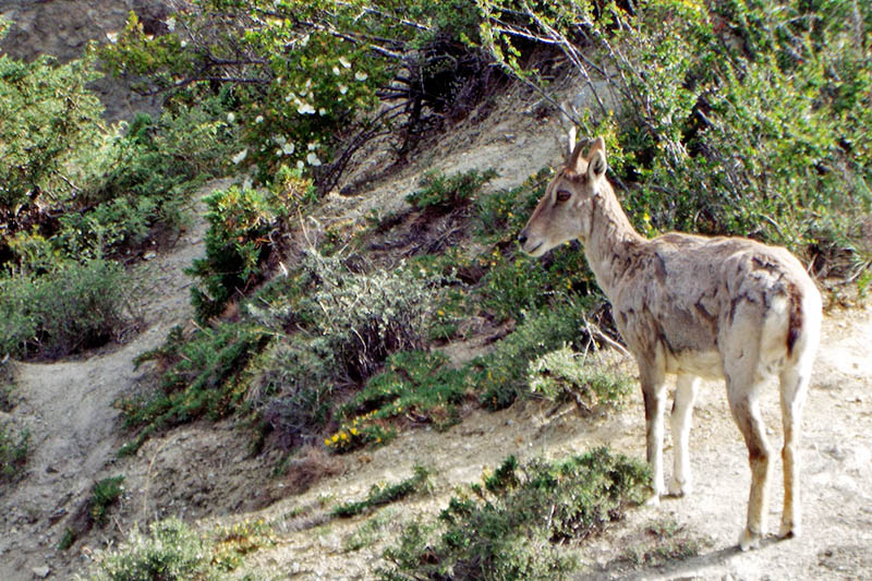 Pseudois Nayaur also known as the Bharal or Naur spotted in the vinicity of Gumchang in Nasyang Rural Municipality in Manang district, on Tuesday, June 20, 2017. IUCN has enlisted Naur as an endangered species. Photo: RSS