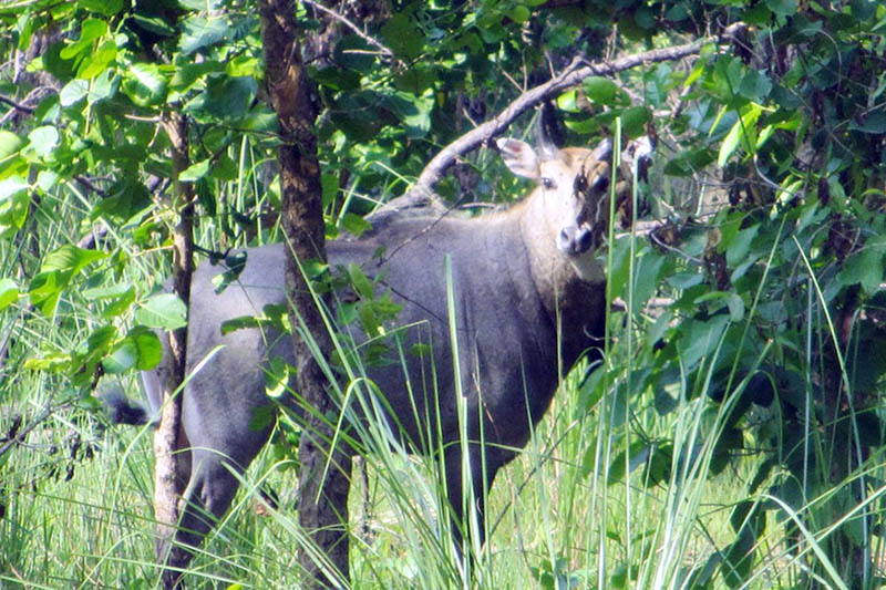 A Blue Cow as seen in Shuklaphanta National Park in Kanchanpur district, on Sunday, June 11, 2017. Photo: RSS