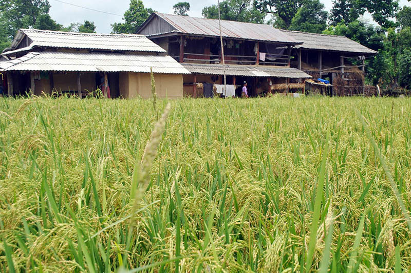 A paddy field as seen in Parsa district, on Monday, June 12, 2017. Photo: RSS
