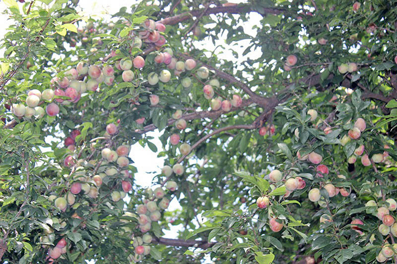 Ripe peaches hang from a tree at a garden in Seuring in Lamjung district, on Sunday, June 4, 2017. Photo: RSS