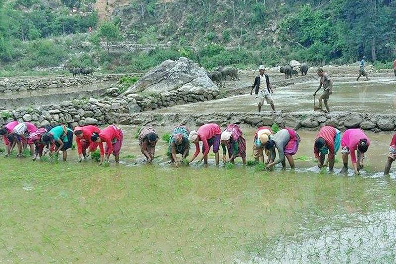 Farmers plant rice saplings in Rukum district, on Fiiday, June 9, 2017. Photo: RSS