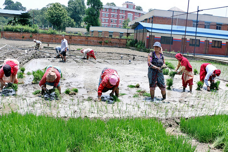 A woman looks on as others plant rice saplings in a paddy field in Thimi of Bhaktapur district, on Monday, June 19, 2017. Photo: RSS