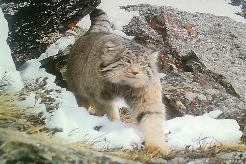 A snowcat as view in the vinicity of Nesyang Rural Municipality in Manang district, on Thursday, June 8, 2017. Photo: RSS
