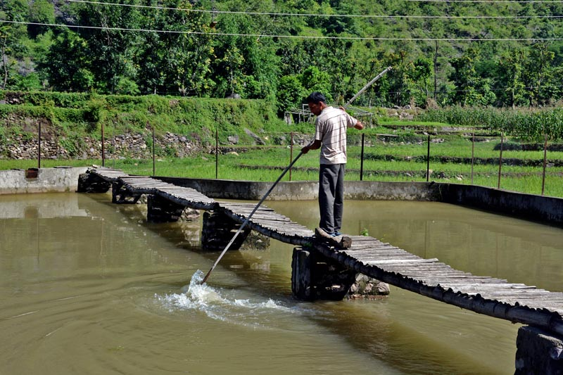 A farmer is seen tending to the fish pond in Kandebas, of Galkot Municipality-8 in Baglung district, on Friday, June 30, 2017. Photo: RSS