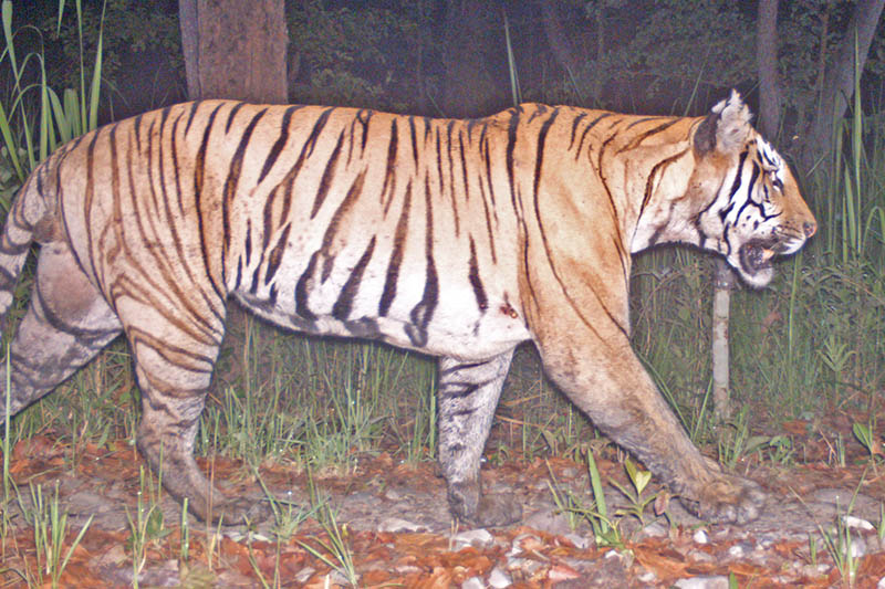 A tiger's portrait being captured in a tapping camera installed in Chitwan National Park on Sunday, June 11, 2017. Courtesy: CNP