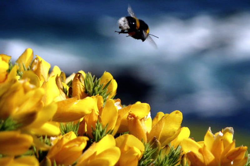 FILE - In this May 22, 2009, file photo, a bumble bee hovers over gorse in Noss Mayo, Devon in south west England. Photo: AP