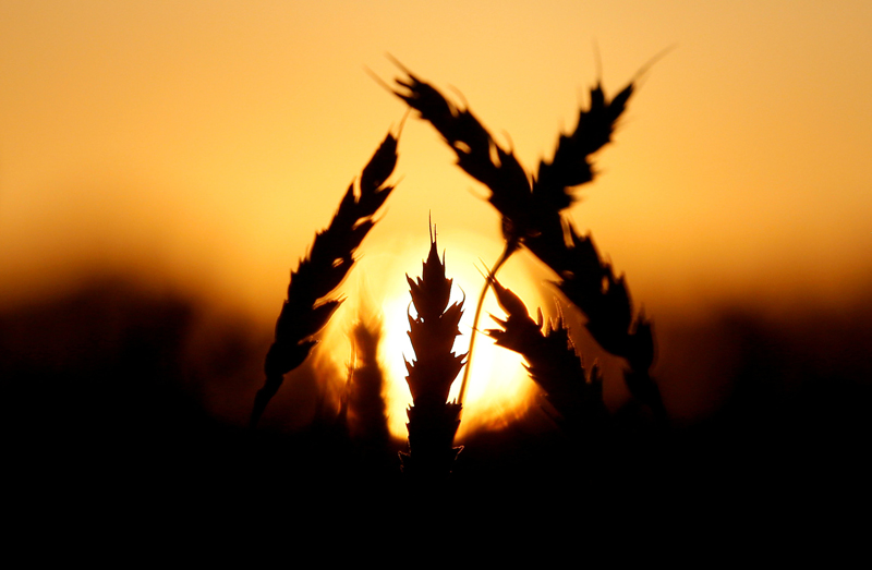 FILE PHOTO: Ears of wheat are seen during sunset in a field in Talniki, Russia, August 28, 2016. Photo: Reuter