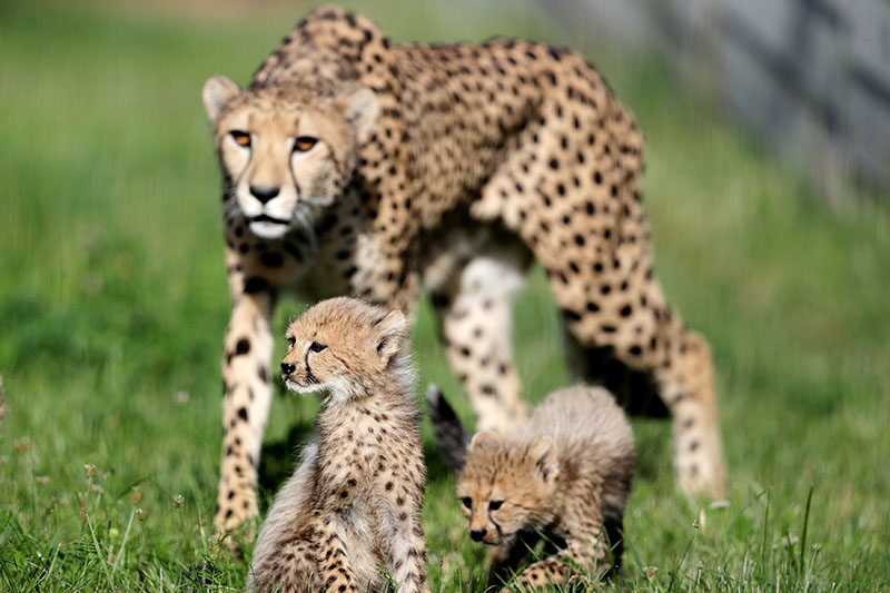 Newly-born cheetah cubs and their mother Savannah rest in their enclosure at Prague Zoo, Czech Republic, July 31, 2017.  Photo: Reuters