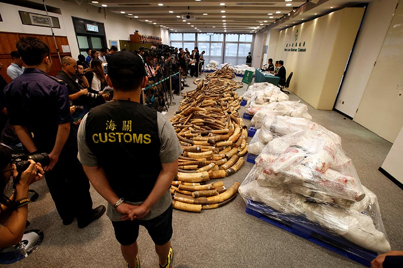 Ivory tusks seized by Hong Kong Customs are displayed at a news conference in Hong Kong, China, on July 6, 2017. Photo: Reuters