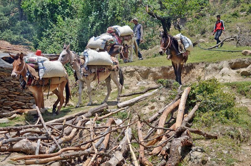 Mules being used to transport cements to a remote village in Dadeldhura district, on Monday, July 24, 2017. Photo: RSS