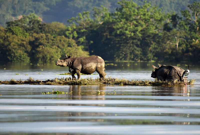 One-horned rhinoceroses are seen at the flooded Kaziranga National Park in the northeastern state of Assam, India, on July 12, 2017. Photo: Reuters