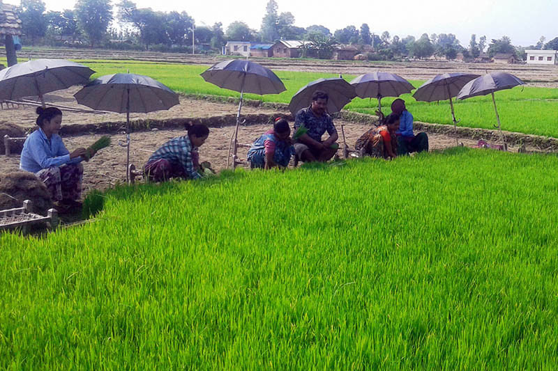 Farmers are seen plucking rice saplings for plantation in Kanchanpur district, on Wednesday, July 2017. Photo: RSS