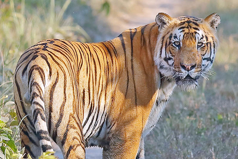 File - A Royal Bengal Tiger spotted in Chitwan National Park on Wednesday, July 19, 2017. Photo: RSS