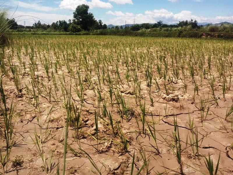 A view of a paddy field that developed cracks due to lack of irrigation, in Siraha, on Wednesday, July 19, 2017. Photo: RSS