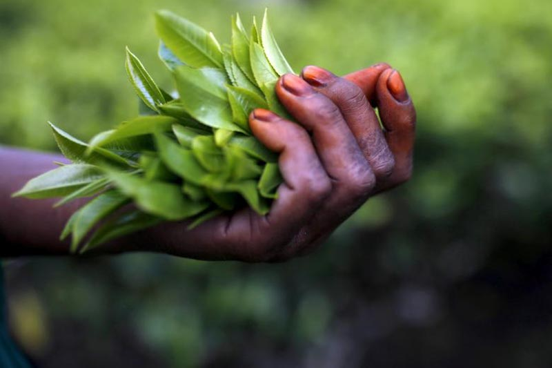 Freshly plucked tea leaves are seen in the hand of a tea garden worker inside Aideobarie Tea Estate in Jorhat in Assam, India, on April 21, 2015. Photo: Reuters