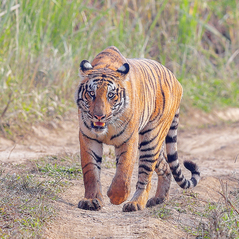 A tiger roams around the Chitwan National Park, in Chitwan, on Saturday, July 29, 2017. Photo: RSS