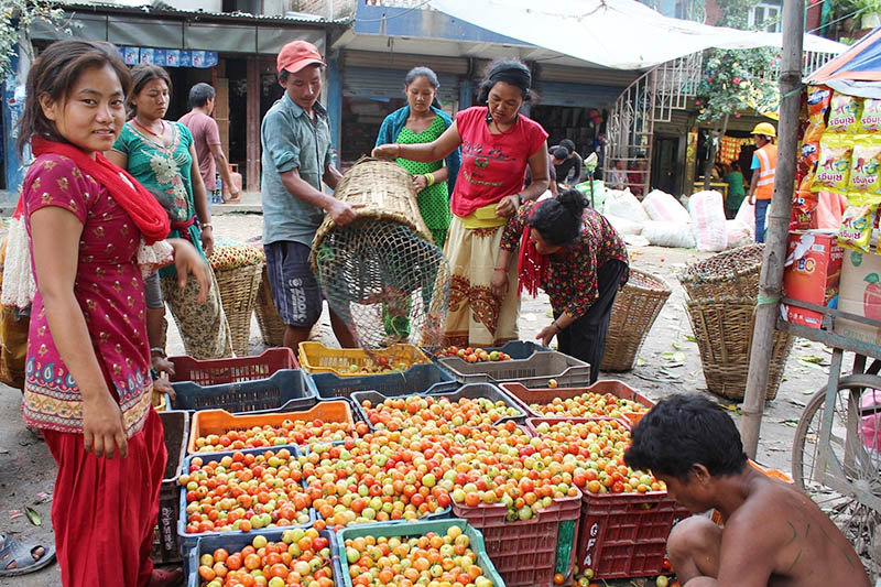 A vendor preparing to send locally produced tomatoes to Kathmadu in Phisling, on Tuesday, July 11, 2017. Photo: RSS