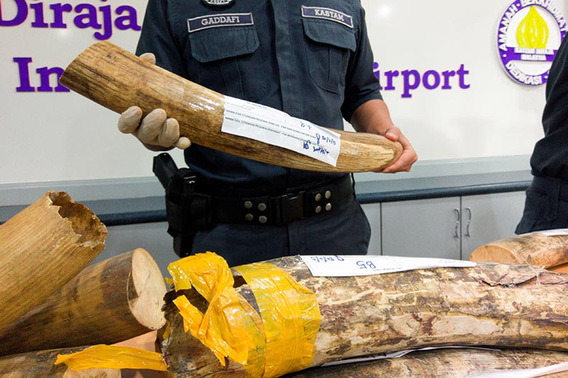 Malaysia customs officers display ivory tusks seized over the weekend during a news conference at the airport in Sepang, Malaysia, on August 2, 2017. Photo: Reuters
