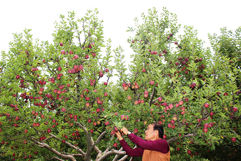 A farmer picks ripe apples at his garden in Kowang of Thasang Rural Municipality, Mustang district, on Monday, August 28, 2017. Photo: RSS