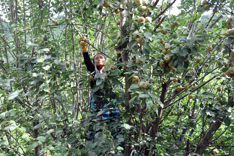 A woman picks Asia pears (Pyrus pyrifolia) from a tree, in Suryabinayak Municipality, Bhaktapur, on Thursday, August 03, 2017. Photo: RSS