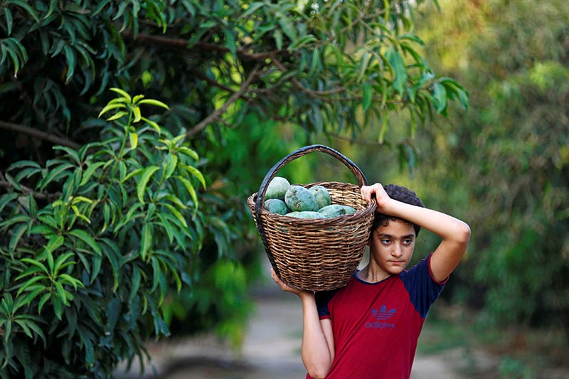 A boy carries a basket of mangoes on a field in Al-Giza, on the outskirts of Cairo, Egypt, on  August 27, 2017. Photo: Reuters