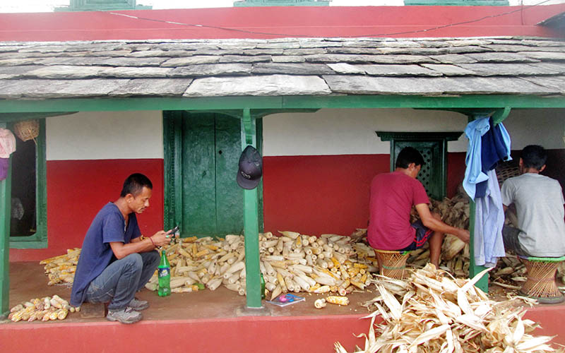 Villagers are seen stocking maize after harvesting it in a rural village in Kaski district, on Sunday, August 20, 2017. Photo: Rishi Ram Baral