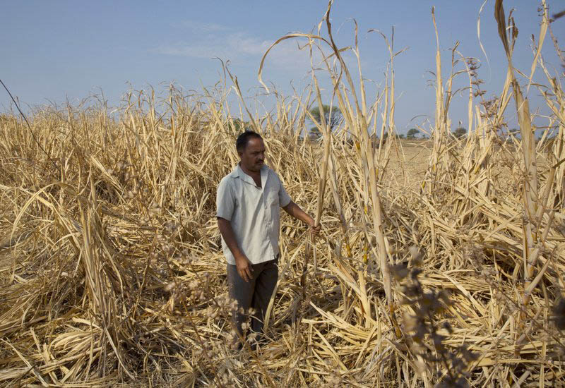 Indian farmer Anant More inspects his destroyed crop of sugarcane due to drought in Marathwada region, in the Indian state of Maharashtra, May 11, 2016. Photo: Ap/ File