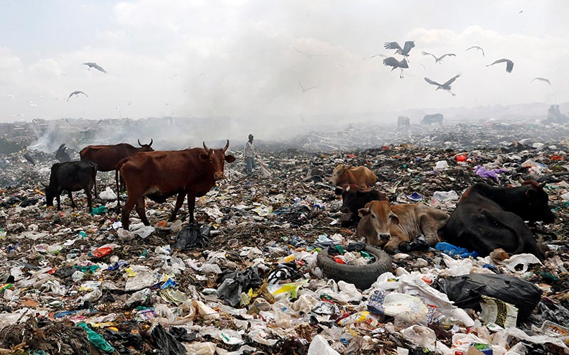 Livestock scavenge for pasture within recyclable plastic materials at the Dandora dumping site on the outskirts of Nairobi, Kenya, on August 25, 2017. Photo: Reuters