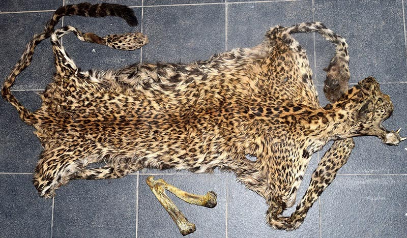 A leopard skin and an 11-inch long bone of a leopard seized by Metropolitan Crime Division from the Gongabu-based guesthouse in KMC-26, on Tuesday, August 1, 2017. Photo: MCD