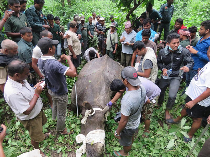 A technical team despatched from Chitwan National Park, releasing the one-horned rhino in the CNP East Sector after rescuing it from Balmiki town of India, on Tuesday, August 22, 2017. Photo: RSS