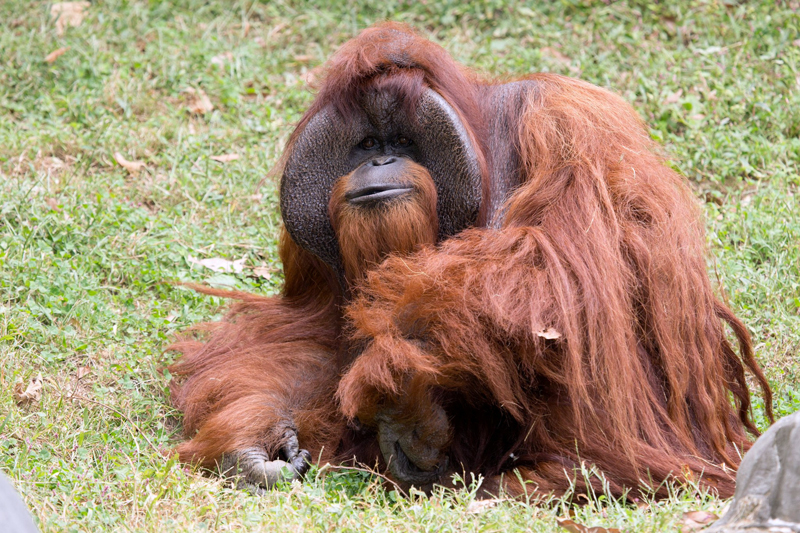 Zoo Atlanta photo shows Chantek the orangutan after the passing of the male orangutan who was among the first apes to learn sign language, in this photo released on social media in Atlanta, Georgia, US, August 7, 2017.  Photo: Reuters