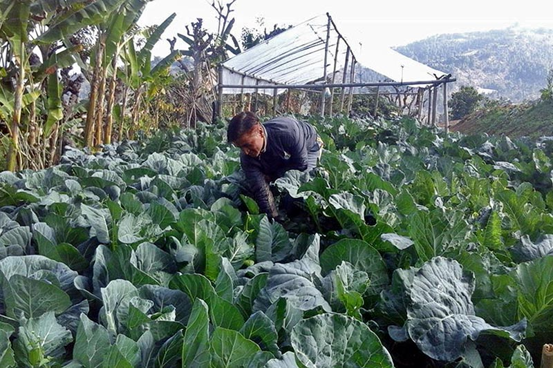 Farmer is seen working in the organic vegetable farm in Jagat of Sandhikharka Municipality in Arghakhachi district, on Tuesday, August 29, 2017. Photo: RSS