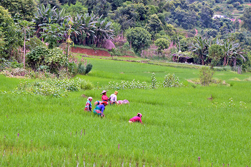 Farmers are seen working at a green lushes of paddy field in Tanahun district, on Wednesday, August 16, 2017. Photo: RSS