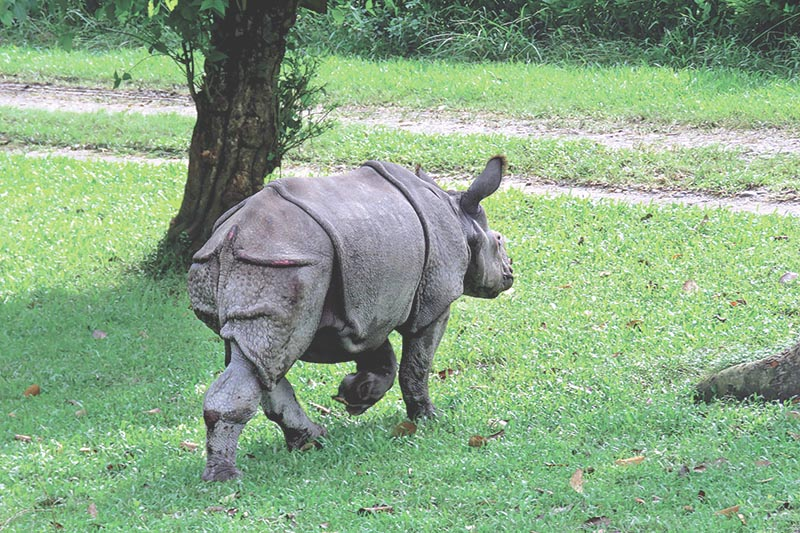 FILE: A rescued rhinoceros strolls at Chitwan National Park, Sauraha, on Friday, August 18, 2017. Photo: RSS