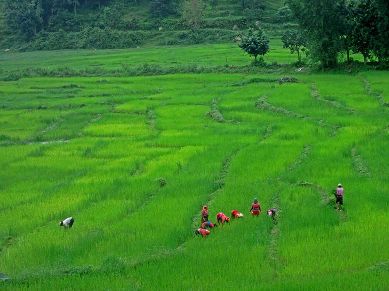 Farmers are seen weeding crops in a paddy field in Pame Phanta, of Chawakot in Pokhara Lekhnath Metropolitan City of Kaski district, on Sunday, August 20, 2017. Photo: Rishi Ram Baral