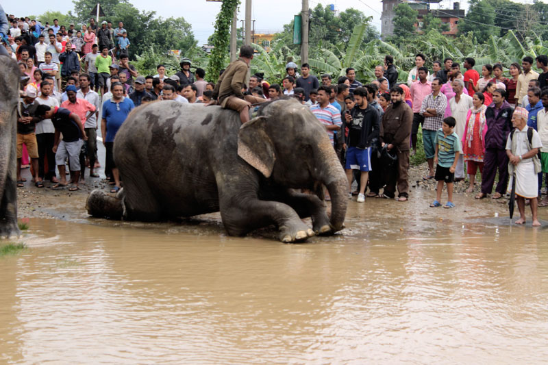 Elephants being used to rescue the tourists trapped in Sauraha flash flood, on Sunday, August 13, 2017. Photo: Tilak Rimal